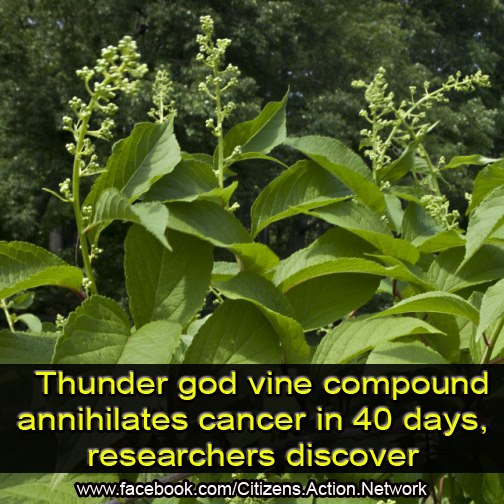 thunder god plant destroys cancer in 40